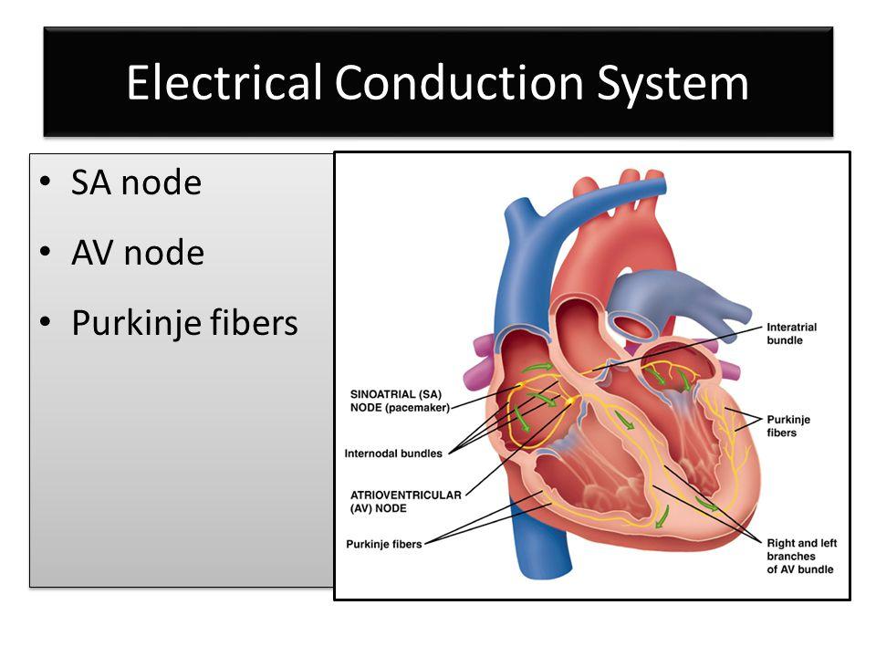 Electrical Conduction System SA node AV node Purkinje fibers SA node AV node Purkinje fibers