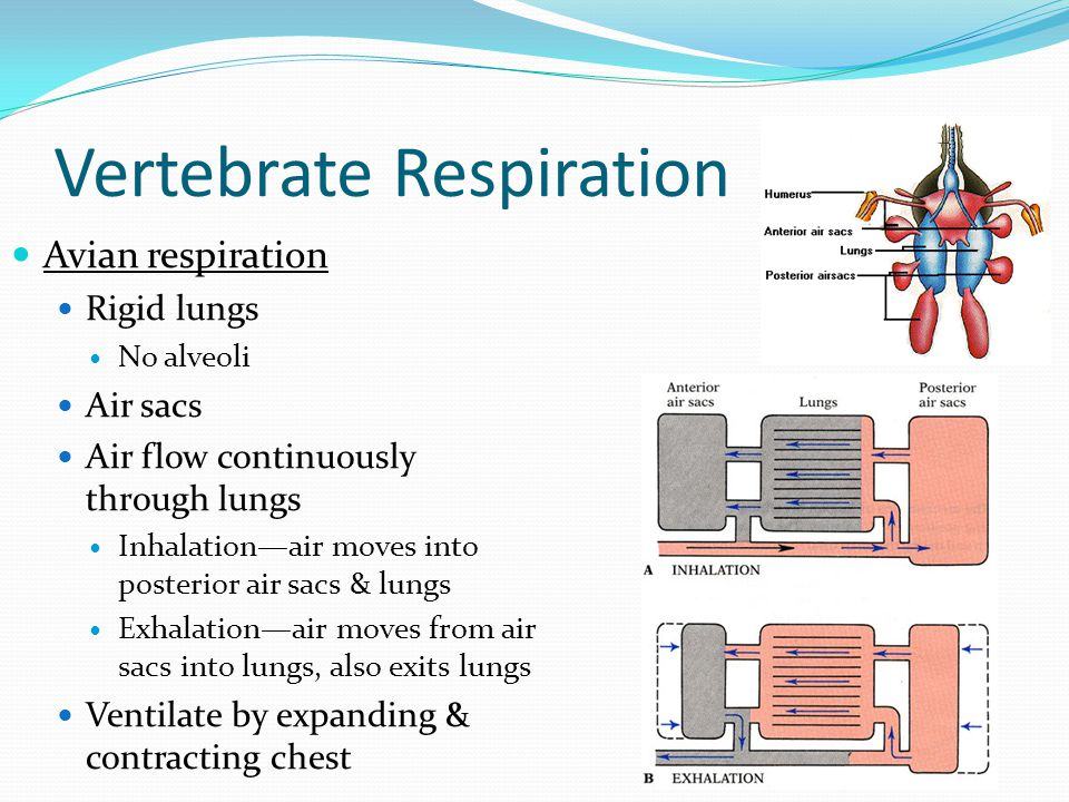 Vertebrate Respiration Avian respiration Rigid lungs No alveoli Air sacs Air flow continuously through lungs Inhalation—air moves into posterior air sacs & lungs Exhalation—air moves from air sacs into lungs, also exits lungs Ventilate by expanding & contracting chest
