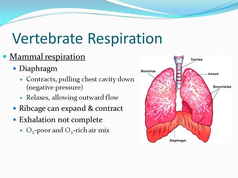 Vertebrate Respiration Mammal respiration Diaphragm Contracts, pulling chest cavity down (negative pressure) Relaxes, allowing outward flow Ribcage can expand & contract Exhalation not complete O 2 -poor and O 2 -rich air mix