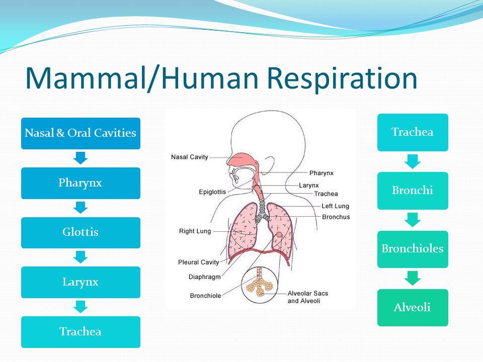 Mammal/Human Respiration Nasal & Oral CavitiesPharynxGlottisLarynxTrachea BronchiBronchiolesAlveoli