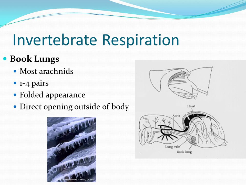 Invertebrate Respiration Book Lungs Most arachnids 1-4 pairs Folded appearance Direct opening outside of body