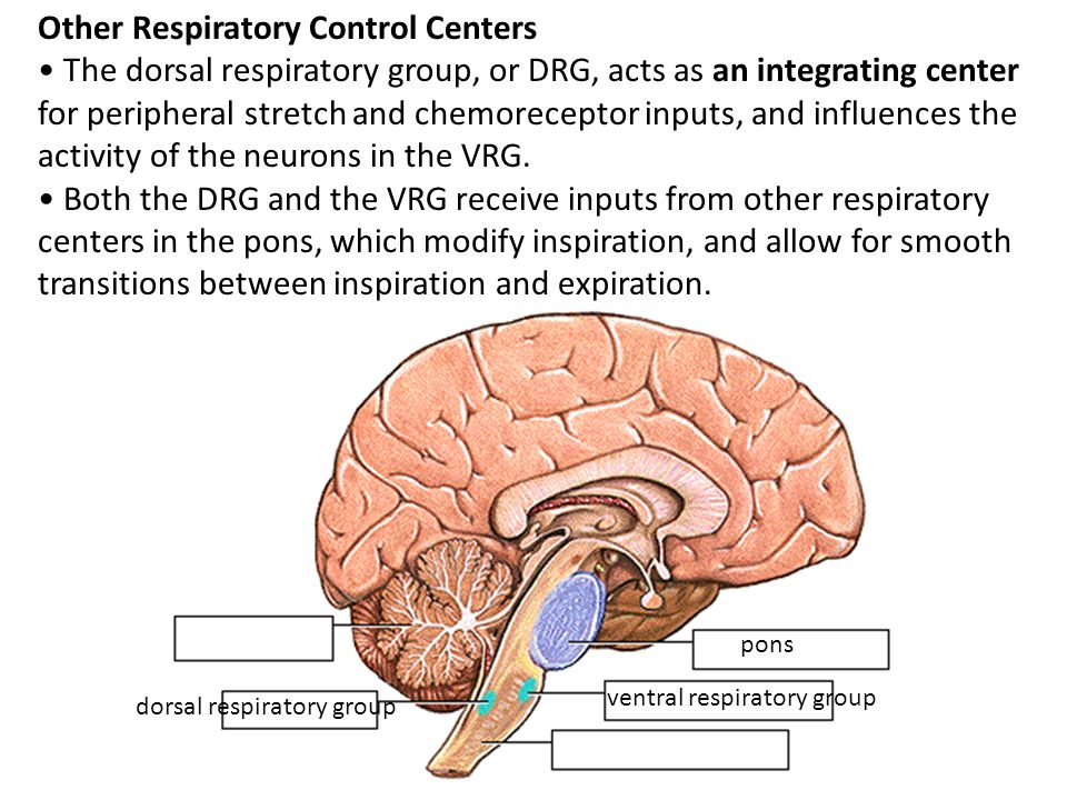 dorsal respiratory group Other Respiratory Control Centers The dorsal respiratory group, or DRG, acts as an integrating center for peripheral stretch