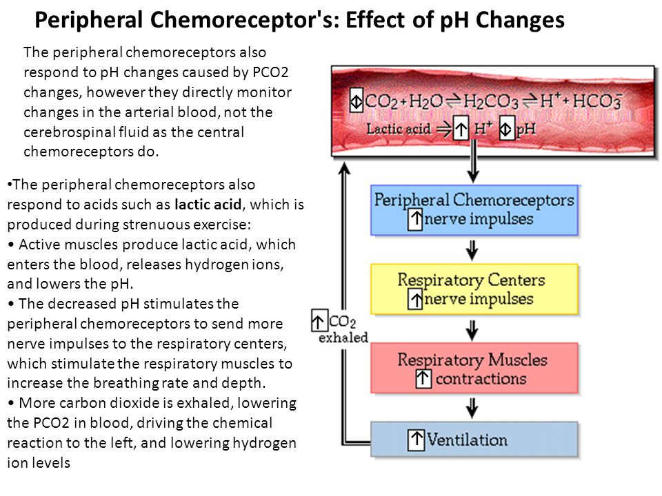 Peripheral Chemoreceptor's: Effect of pH Changes The peripheral chemoreceptors also respond to pH changes caused by PCO2 changes, however they directl