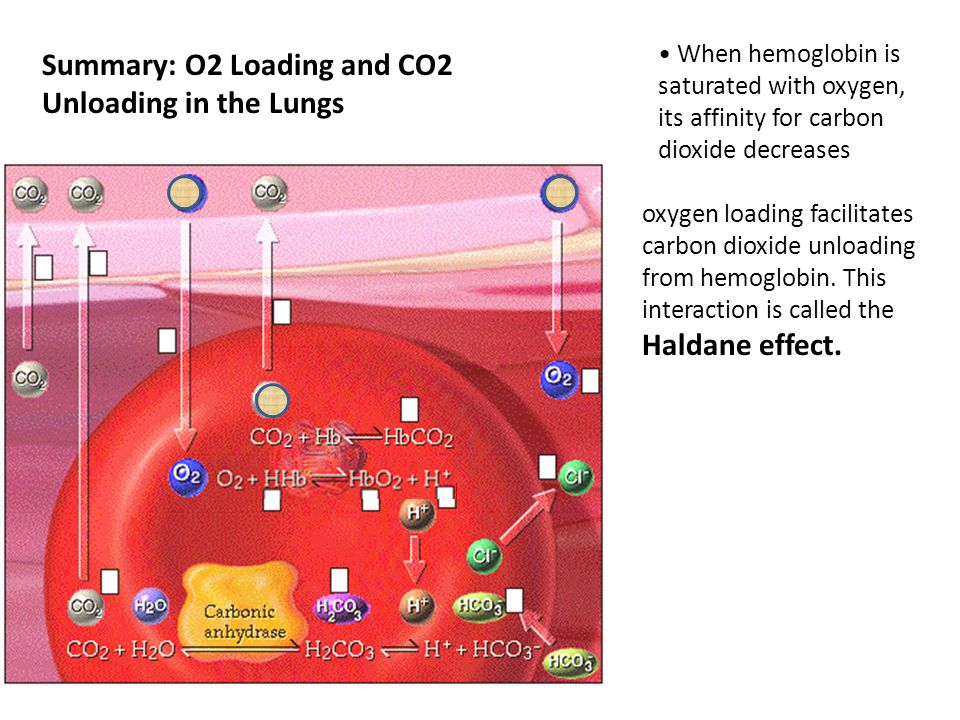 Summary: O2 Loading and CO2 Unloading in the Lungs When hemoglobin is saturated with oxygen, its affinity for carbon dioxide decreases oxygen loading