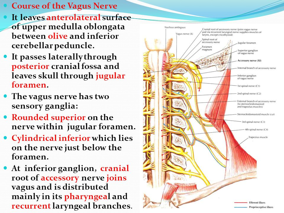 Course of the Vagus Nerve It leaves anterolateral surface of upper medulla oblongata between olive and inferior cerebellar peduncle. It passes lateral