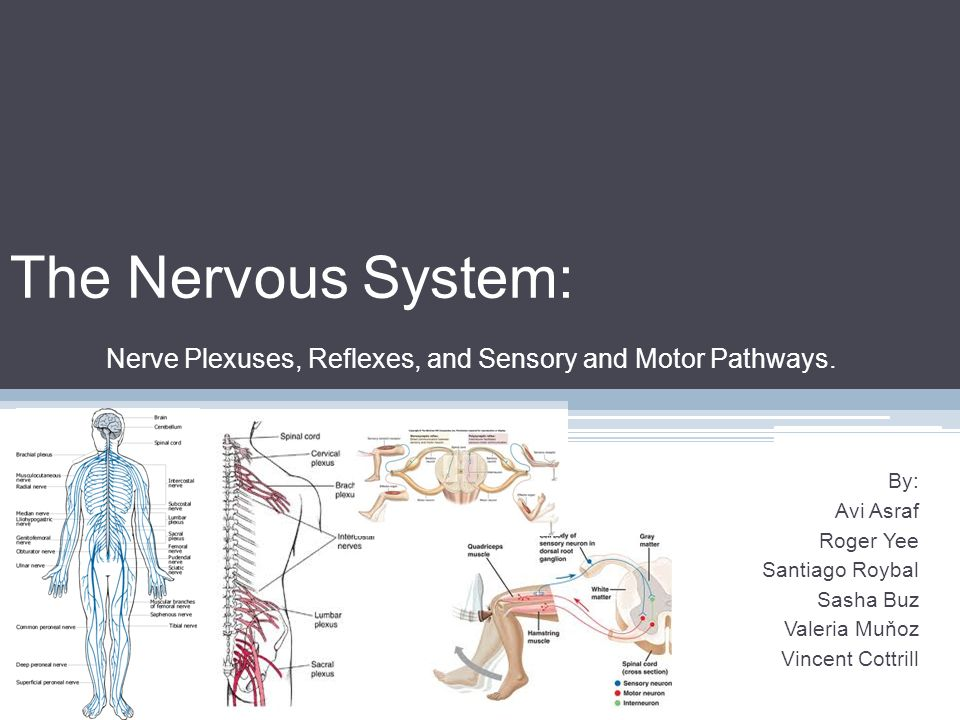 The Nervous System: Nerve Plexuses, Reflexes, and Sensory and Motor Pathways.