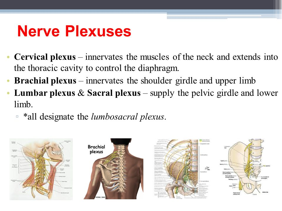 Nerve Plexuses Cervical plexus – innervates the muscles of the neck and extends into the thoracic cavity to control the diaphragm.