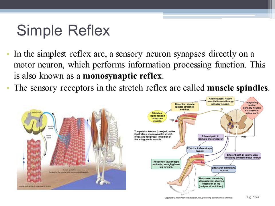 Simple Reflex In the simplest reflex arc, a sensory neuron synapses directly on a motor neuron, which performs information processing function. This i