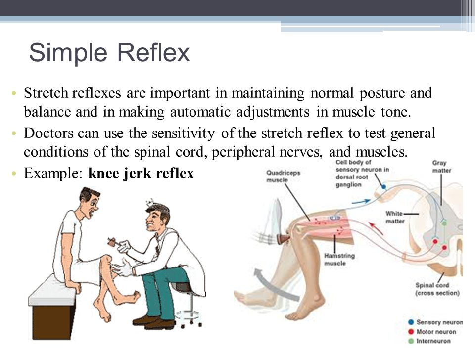 Simple Reflex Stretch reflexes are important in maintaining normal posture and balance and in making automatic adjustments in muscle tone. Doctors can