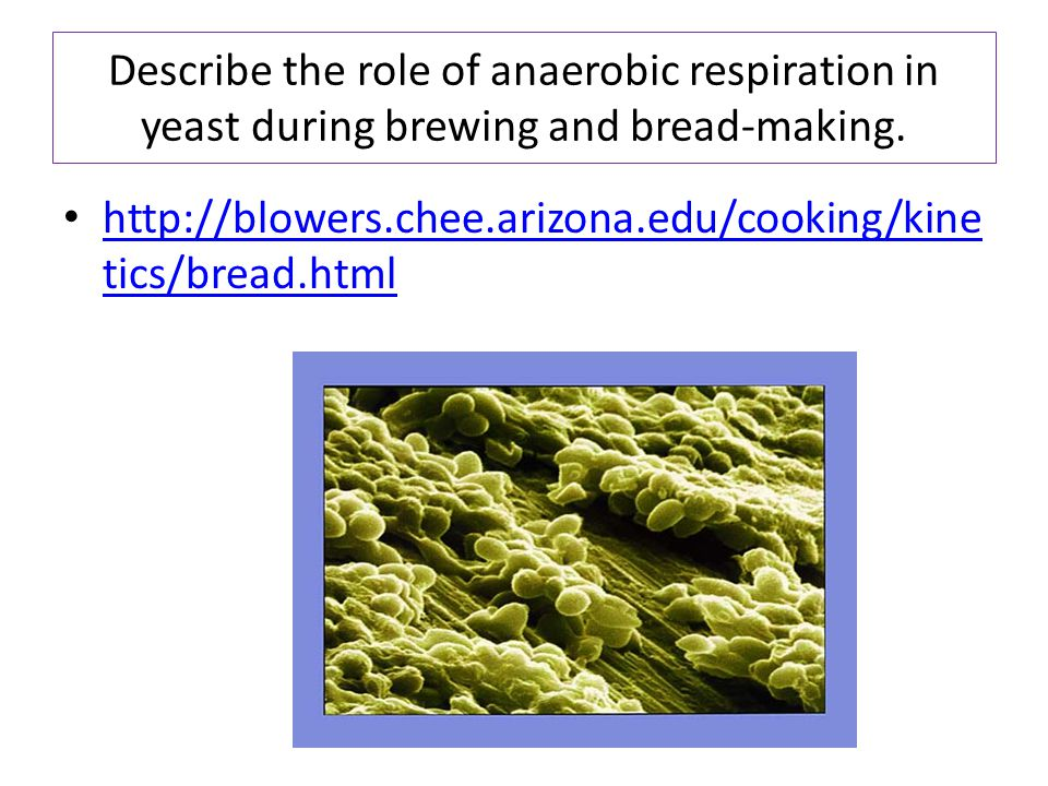 Describe the role of anaerobic respiration in yeast during brewing and bread-making. http://blowers.chee.arizona.edu/cooking/kine tics/bread.html http