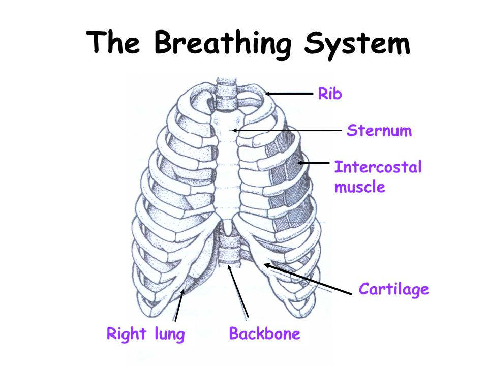The Breathing System Rib Sternum Intercostal muscle Right lungBackbone Cartilage