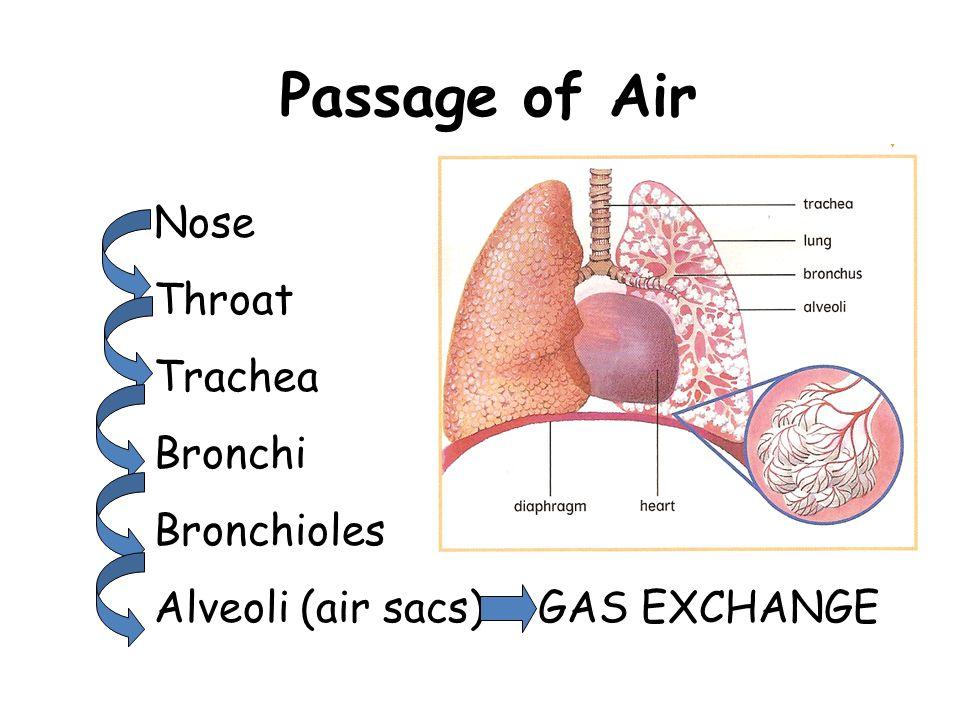 Passage of Air Nose Throat Trachea Bronchi Bronchioles Alveoli (air sacs)GAS EXCHANGE