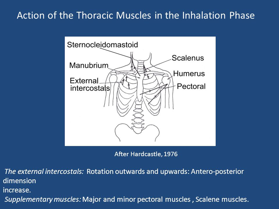 Action of the Thoracic Muscles in the Inhalation Phase After Hardcastle, 1976 The external intercostals: Rotation outwards and upwards: Antero-posteri