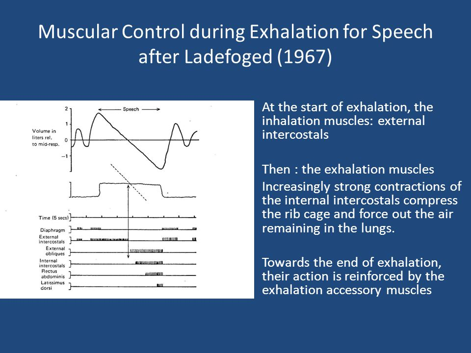 Muscular Control during Exhalation for Speech after Ladefoged (1967) At the start of exhalation, the inhalation muscles: external intercostals Then :