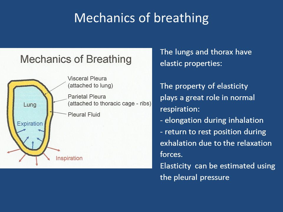 The Respiratory System - The Structural Supports 1– The rib cage 2– The visceral thorax 3- The respiration muscles The rib cage : 12 spinal vertebrae, 12 pairs of ribs, : The sternum.
