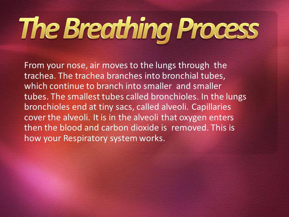 Lungs Diagram pharynx trachea Noselarynx Bronchus diaphragm epiglottis bronchioles lungs