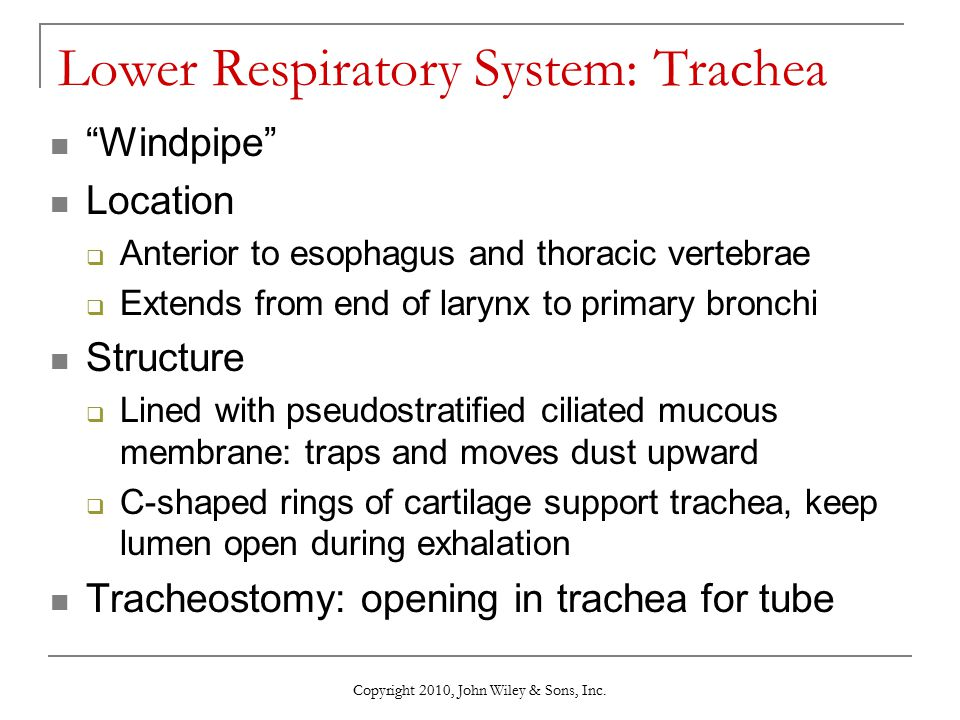 "Copyright 2010, John Wiley & Sons, Inc. Lower Respiratory System: Trachea ""Windpipe"" Location  Anterior to esophagus and thoracic vertebrae  Extends"
