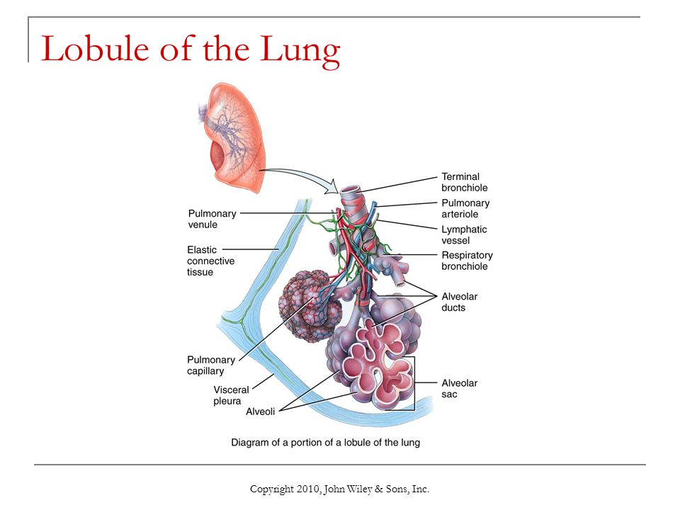 Copyright 2010, John Wiley & Sons, Inc. Lobule of the Lung