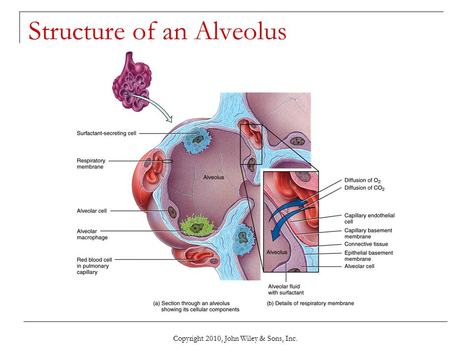 Copyright 2010, John Wiley & Sons, Inc. Structure of an Alveolus