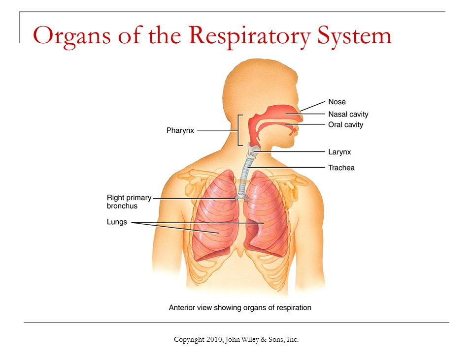 Copyright 2010, John Wiley & Sons, Inc. Organs of the Respiratory System