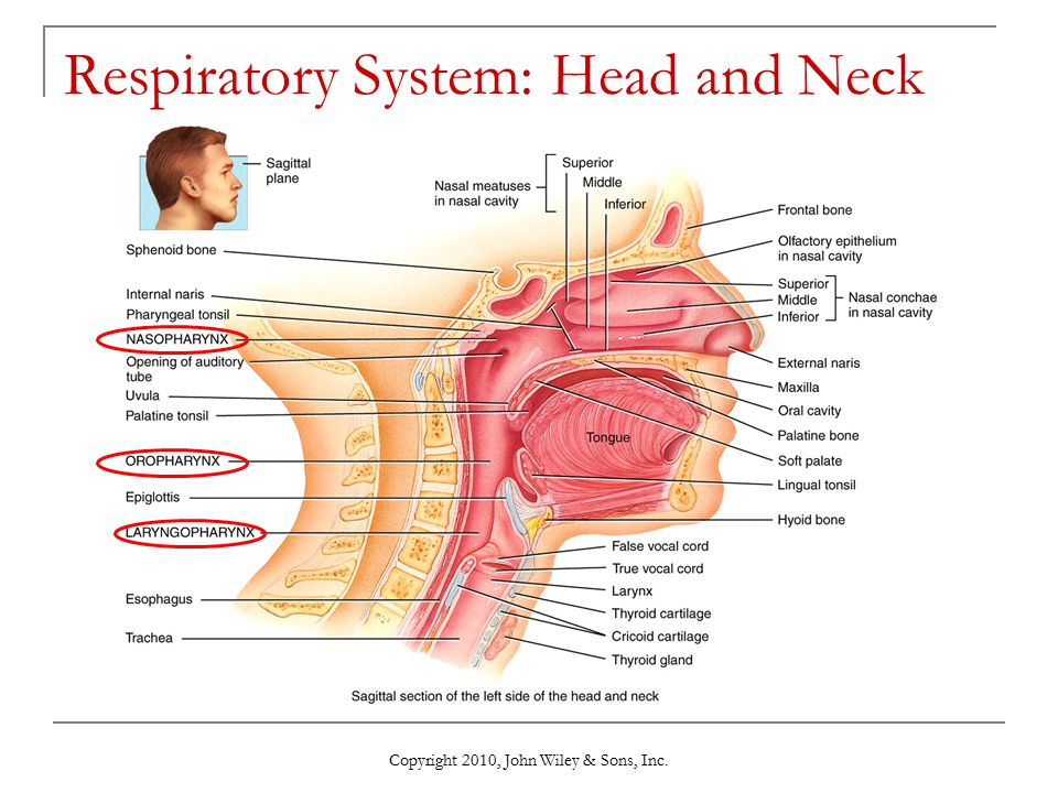 Respiratory System: Head and Neck