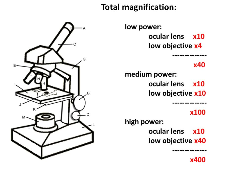 Compound light microscope: -light -light must pass through the diaphragm and through the object.