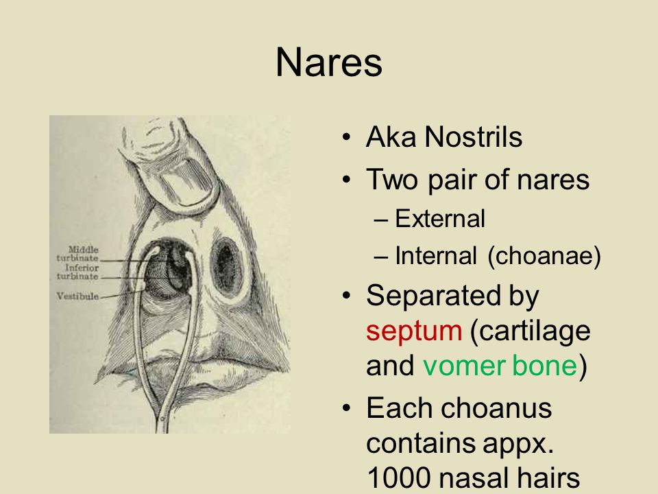 Nares Aka Nostrils Two pair of nares –External –Internal (choanae) Separated by septum (cartilage and vomer bone) Each choanus contains appx.