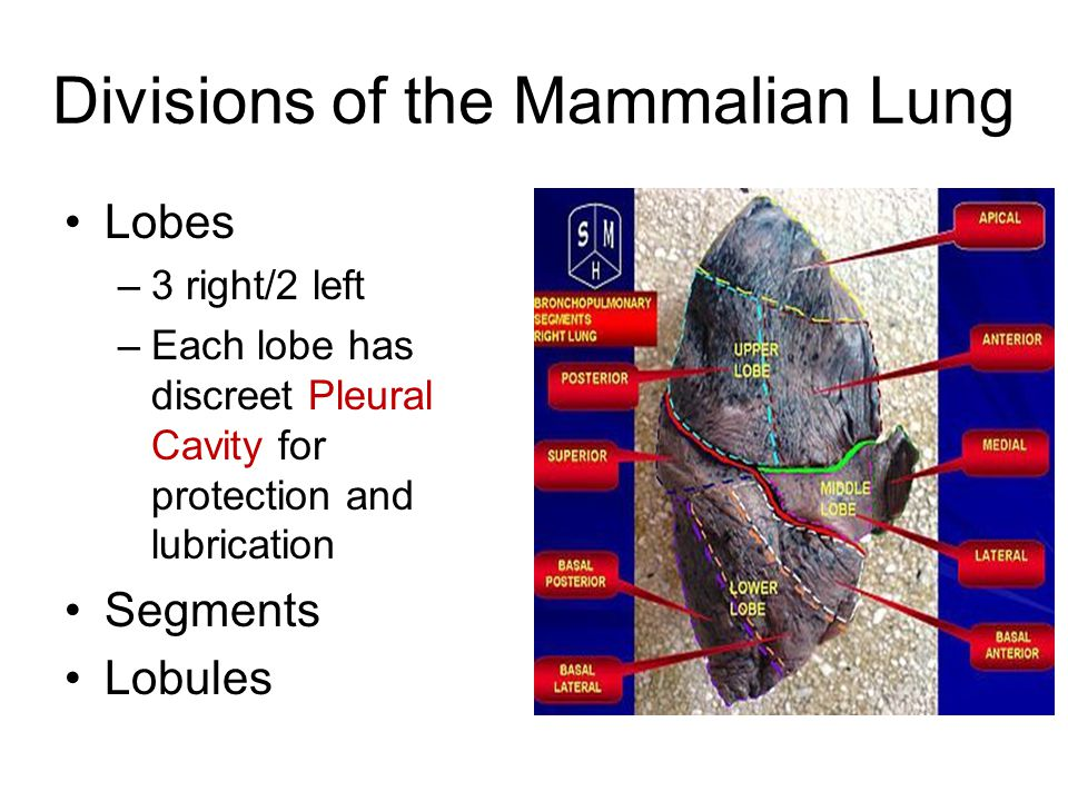 Divisions of the Mammalian Lung Lobes –3 right/2 left –Each lobe has discreet Pleural Cavity for protection and lubrication Segments Lobules
