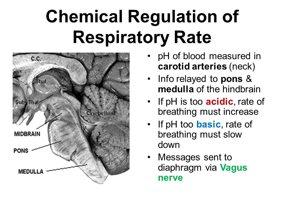 Chemical Regulation of Respiratory Rate pH of blood measured in carotid arteries (neck) Info relayed to pons & medulla of the hindbrain If pH is too acidic, rate of breathing must increase If pH too basic, rate of breathing must slow down Messages sent to diaphragm via Vagus nerve