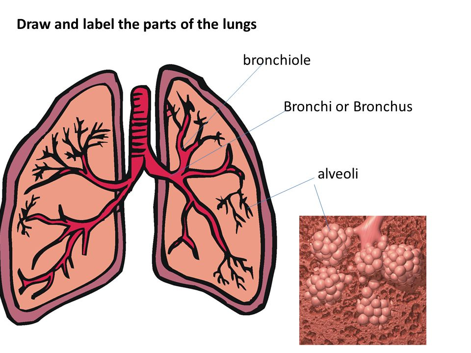 Breathing involves the diaphragm and muscles of the rib cage.
