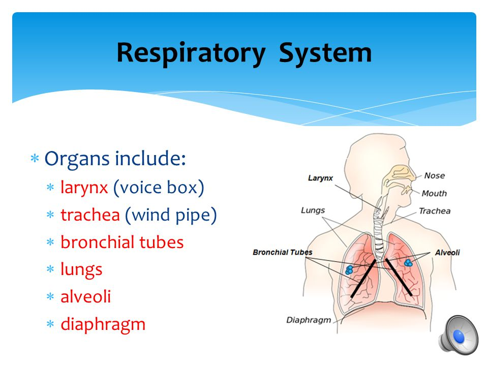What are some of the organs and what is the function of our respiratory system? Respiratory System
