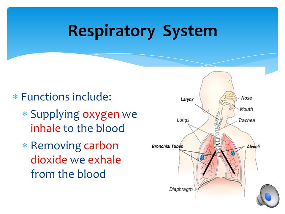  Organs include:  larynx (voice box)  trachea (wind pipe)  bronchial tubes  lungs  alveoli  diaphragm