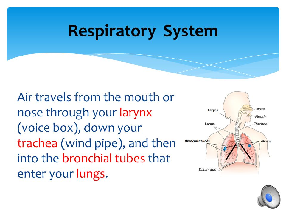 Respiratory System  Functions include:  Supplying oxygen we inhale to the blood  Removing carbon dioxide we exhale from the blood