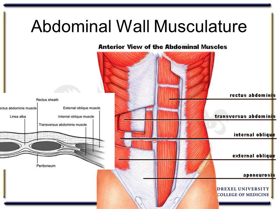 Abdominal Wall Musculature