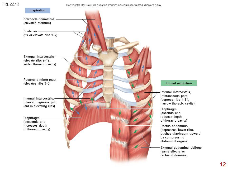 12 Pectoralis minor (cut) (elevates ribs 3–5) Internal intercostals, intercartilaginous part (aid in elevating ribs) Diaphragm (descends and increases