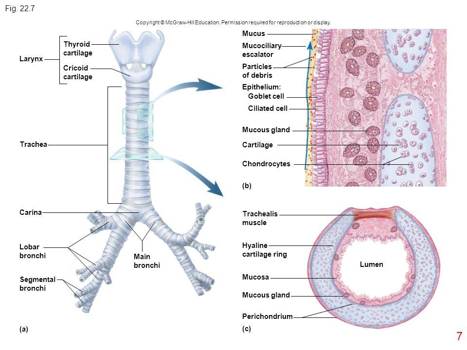 7 Fig. 22.7 Larynx Trachea Carina Lobar bronchi Segmental bronchi (a) (c) (b) Thyroid cartilage Cricoid cartilage Lumen Main bronchi Trachealis muscle