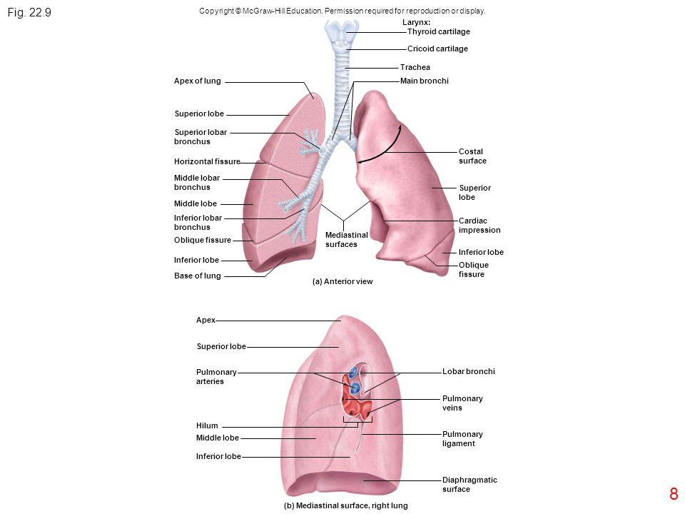 8 Apex of lung Superior lobe Superior lobar bronchus Horizontal fissure Middle lobar bronchus Middle lobe Inferior lobar bronchus Oblique fissure Infe