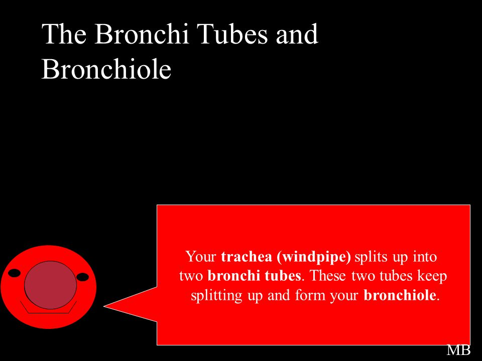 Your trachea (windpipe) splits up into two bronchi tubes. These two tubes keep splitting up and form your bronchiole. The Bronchi Tubes and Bronchiole