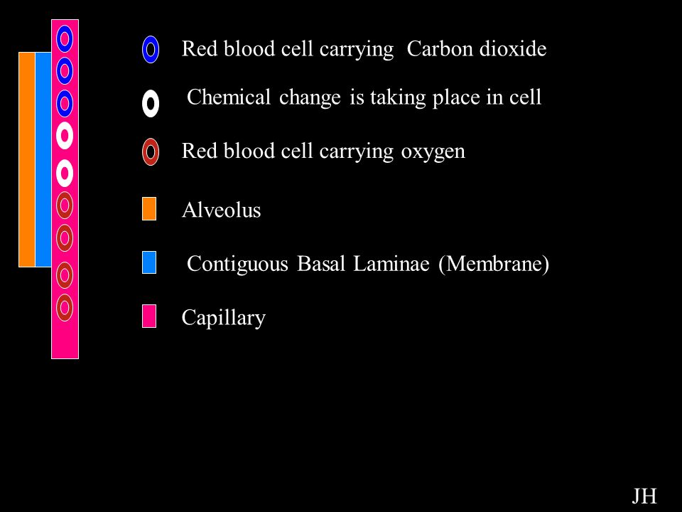 Chemicals Red blood cell carrying Carbon dioxide Chemical change is taking place in cell Red blood cell carrying oxygen Alveolus Contiguous Basal Lami