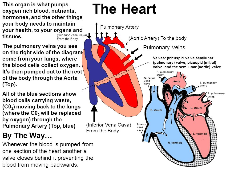 The Heart This organ is what pumps oxygen rich blood, nutrients, hormones, and the other things your body needs to maintain your health, to your organ