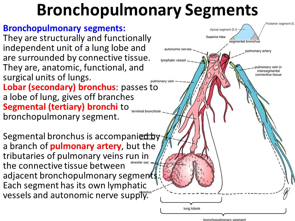 Bronchopulmonary Segments Bronchopulmonary segments: They are structurally and functionally independent unit of a lung lobe and are surrounded by conn