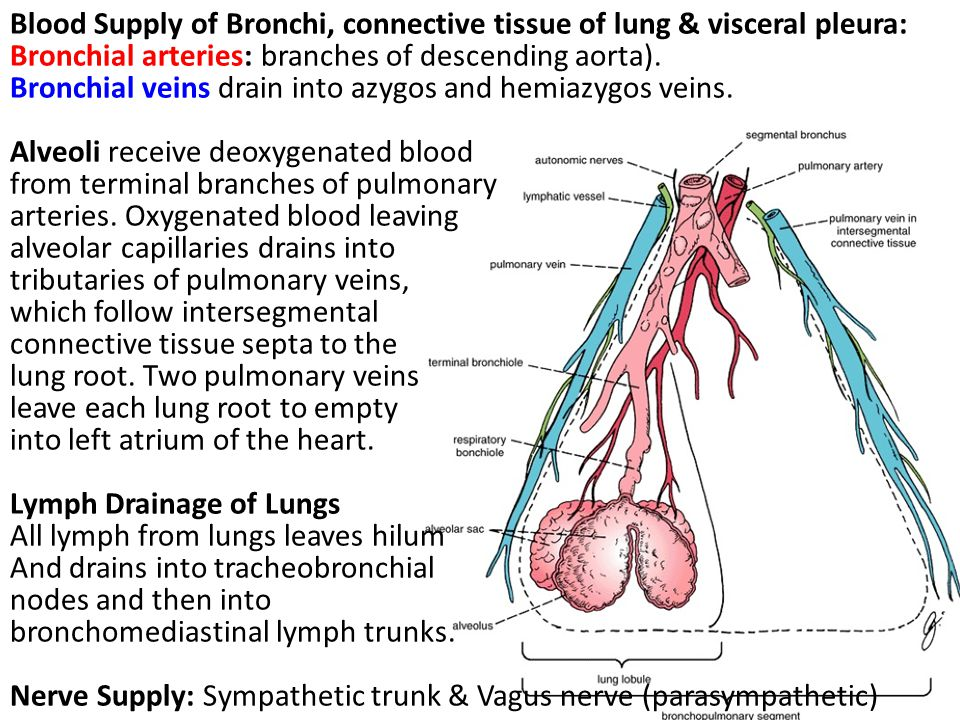 Blood Supply of Bronchi, connective tissue of lung & visceral pleura: Bronchial arteries: branches of descending aorta). Bronchial veins drain into az