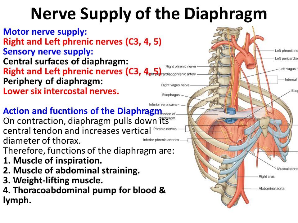 Pleura (Pleurae) Pleurae and lungs lie on either side of mediastinum within chest cavity.