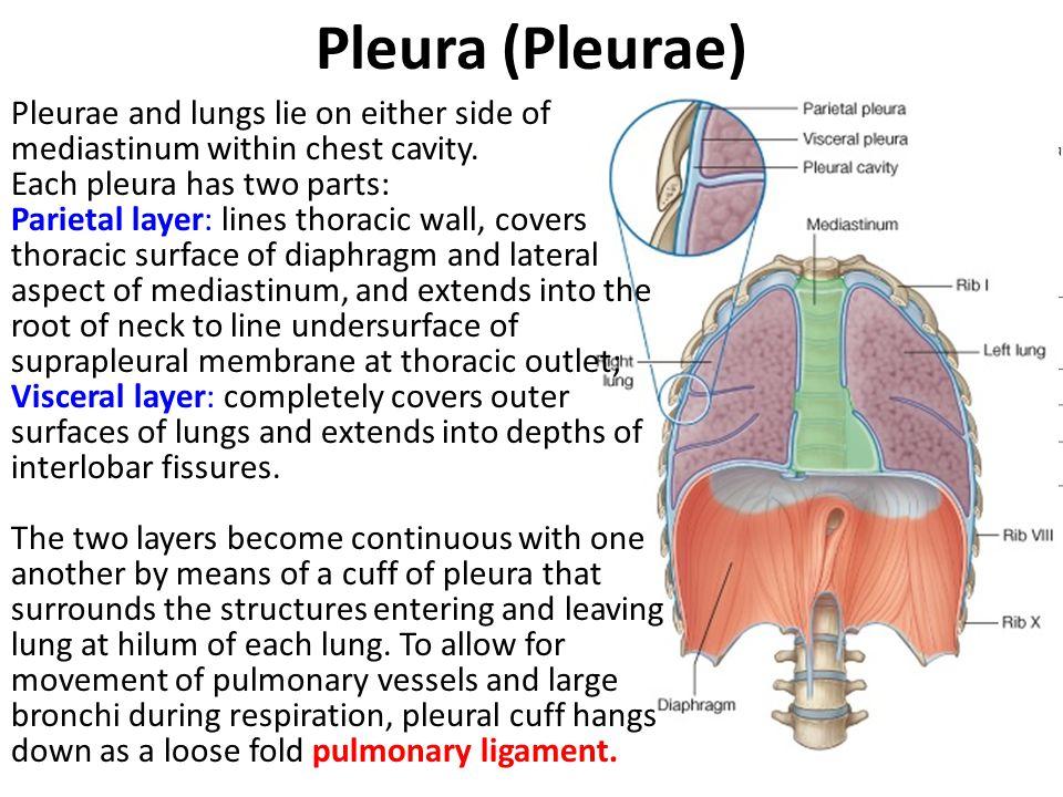 Parietal Pleura Cervical pleura: lining undersurface of suprapleural membrane.