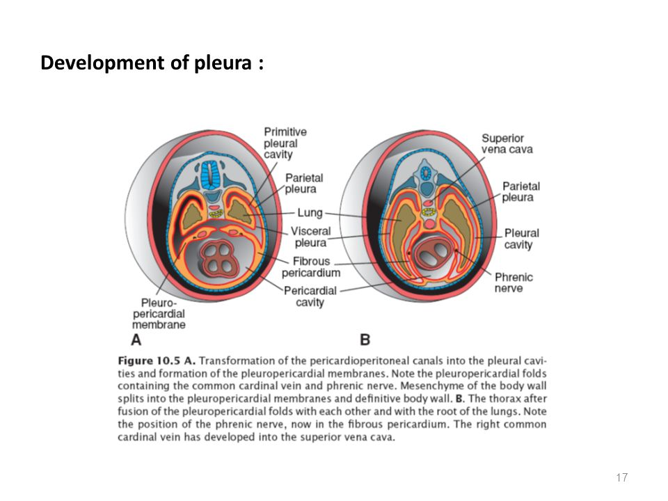 17 Development of pleura :