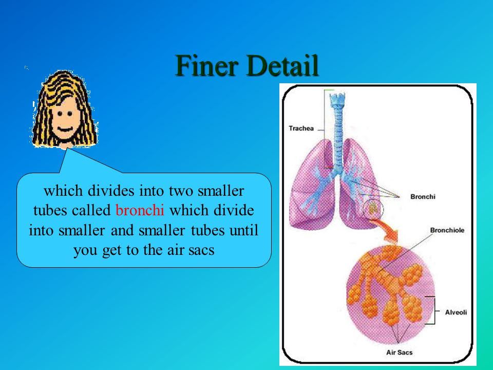 Finer Detail Oxygen is in the air you breathe in The tube leading to the lungs is called the trachea … which divides into two smaller tubes called bro