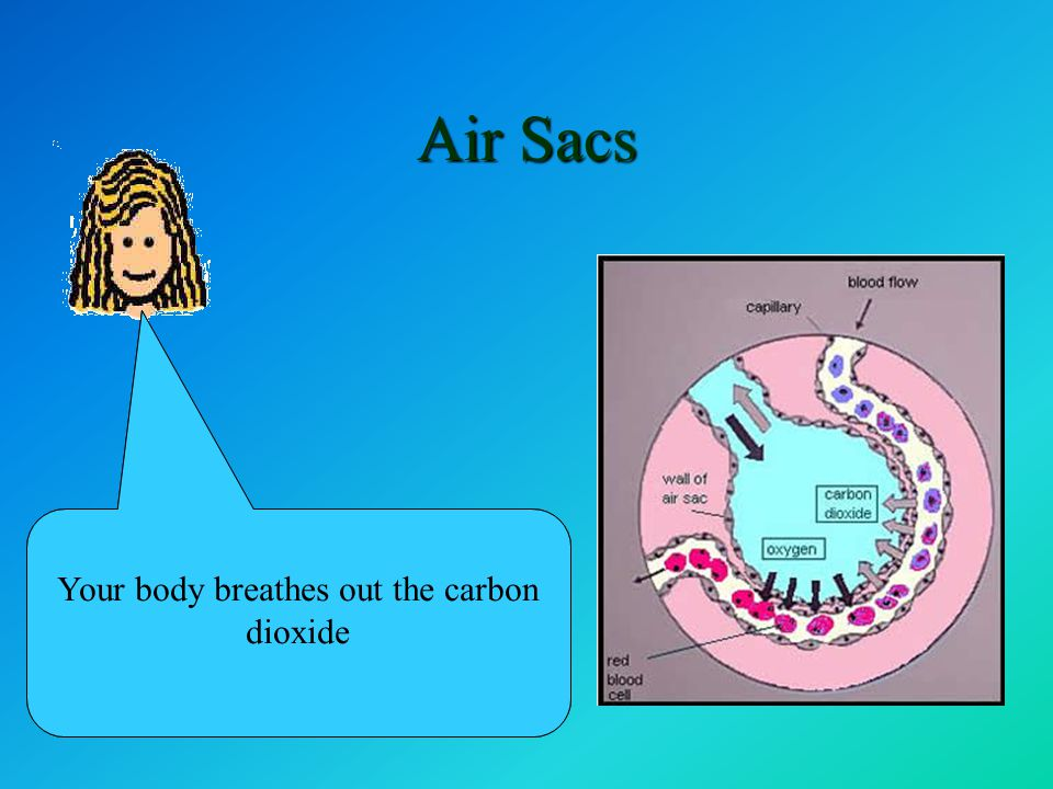 Air Sacs At an air sac, oxygen from the air goes into the blood and carbon dioxide leaves the blood and goes into the air in the air sac Your body breathes out the carbon dioxide
