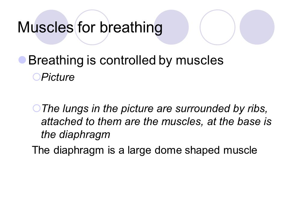 Muscles for breathing Breathing is controlled by muscles  Picture  The lungs in the picture are surrounded by ribs, attached to them are the muscles