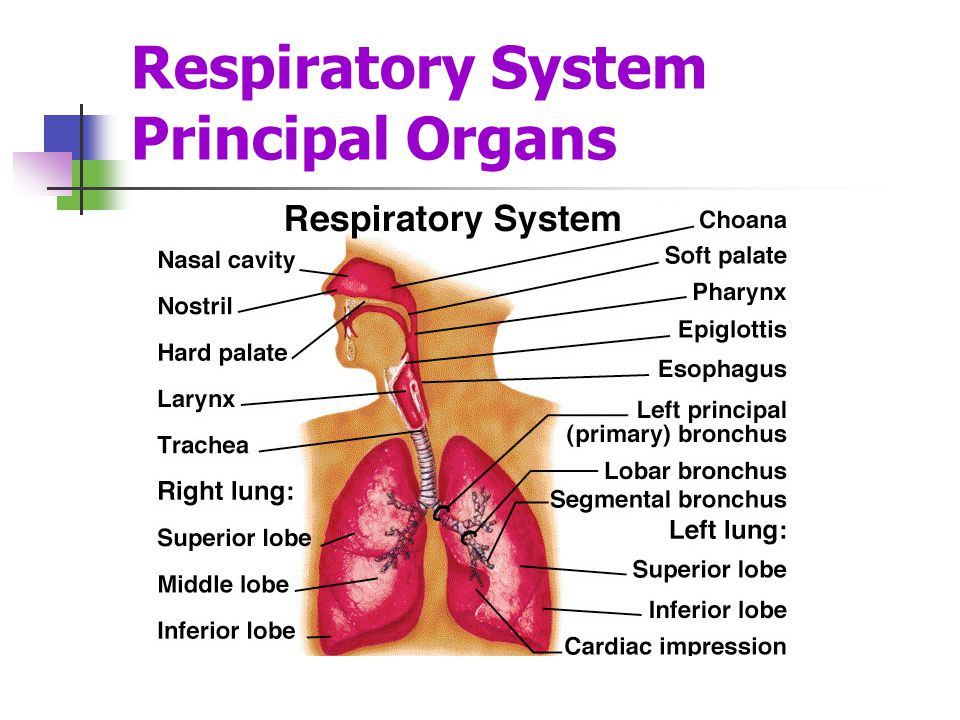 Respiratory System – Lungs