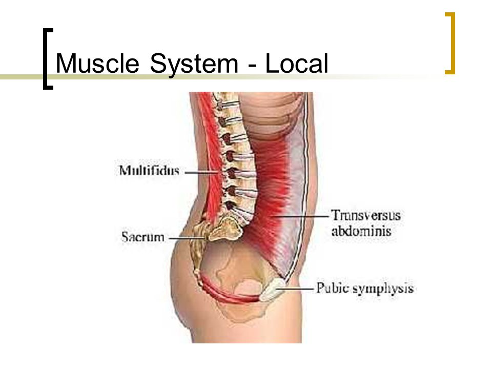 Muscle System - Local